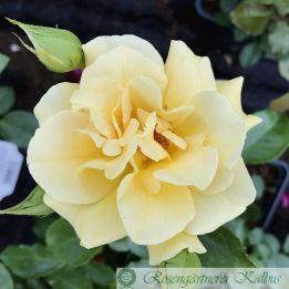 Moderne Rose Westart®