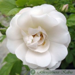 Hagebuttenrose White Flight