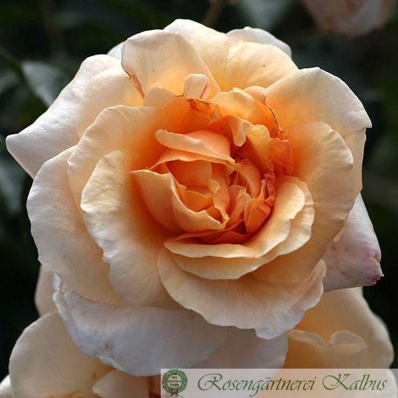 Moderne Rose Kaiser von Lautern