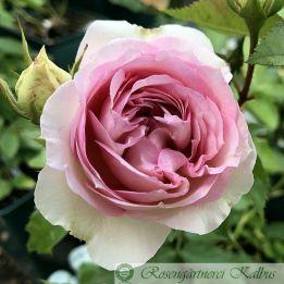 Moderne Rose Kurfürstin Sophie®