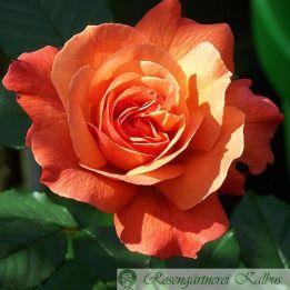 Kalbus - Rose
