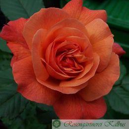 Strauchrose Kalbus Rose
