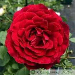Moderne Rose Kronborg®