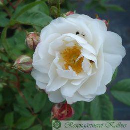 Historische Rose Katharina Zeimet