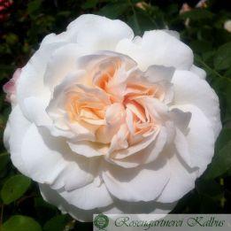 Moderne Rose Kosmos®