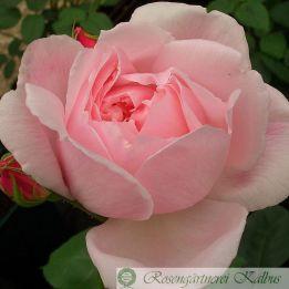 Besondere Rose Kathryn Morley®