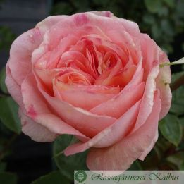 Besondere Rose Konstanza