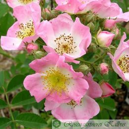 Kletterrose Kew Rambler