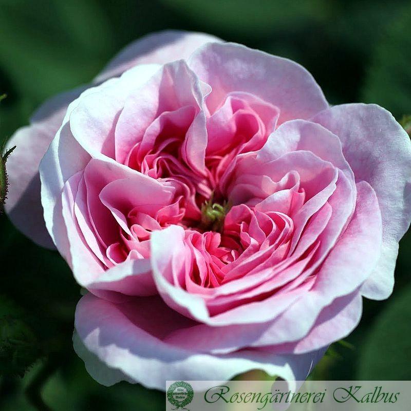 Historische Rose Königin von Dänemark