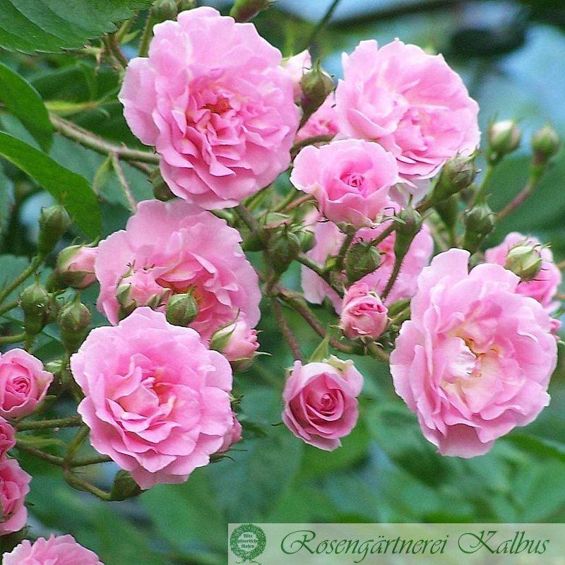 Besondere Rose Kirschrose