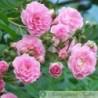 Kirschrose