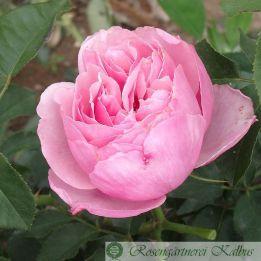 Besondere Rose Eckart Witzigmann®