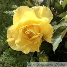 Moderne Rose Friesia®