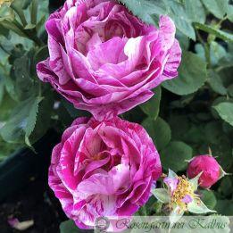 Historische Rose Ferdinand Pichard