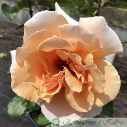 Moderne Rose Just Joey