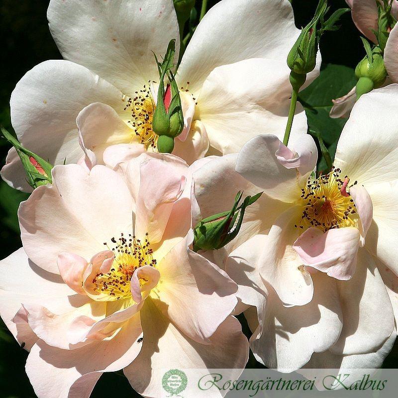 Englische Rose Jacquenetta®