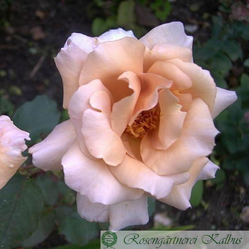 Moderne Rose Julia's Rose
