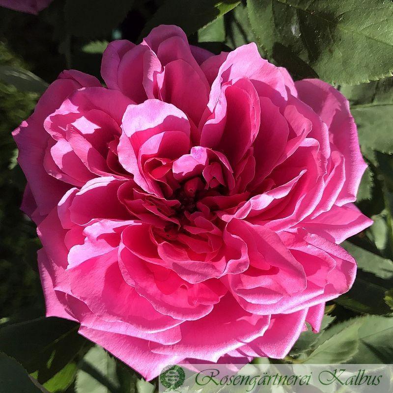 Historische Rose Jules Margottin
