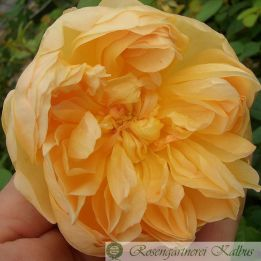 Besondere Rose Jude the Obscure®