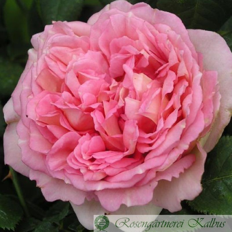 Englische Rose Janet®