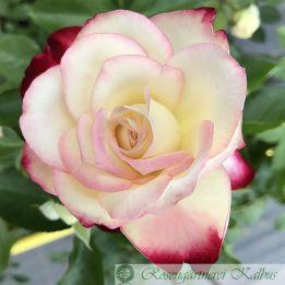 Moderne Rose Jubile Du Prince de Monaco®