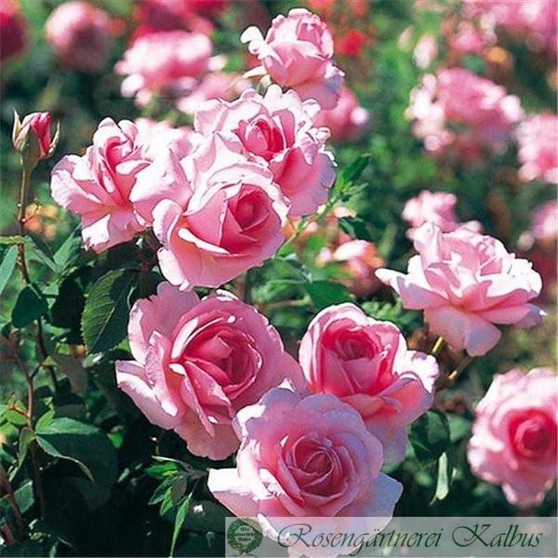 Besondere Rose Jardins de Villandry®
