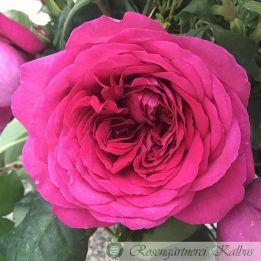 Moderne Rose Johann Wolfgang von Goethe®
