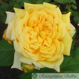 Besondere Rose Joelle Marouani®