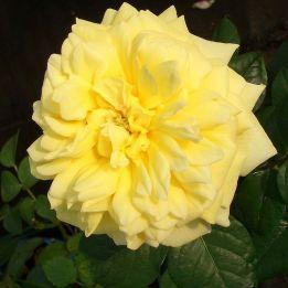 Generosa Rose Joelle Marouani®