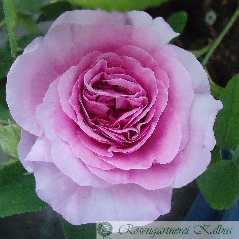 Historische Rose Jenny Duval