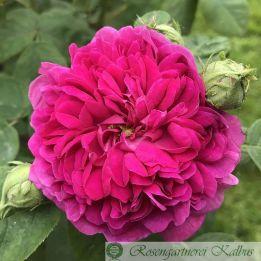 Historische Rose Rose de Resht