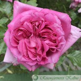 Besondere Rose Rose de Pompadour®