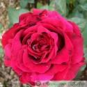 Rose des 4 vents®