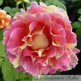 Rose des Cisterciens®