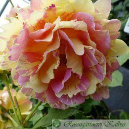Besondere Rose Rose des Cisterciens®