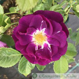 Moderne Rose Rhapsody in Blue®