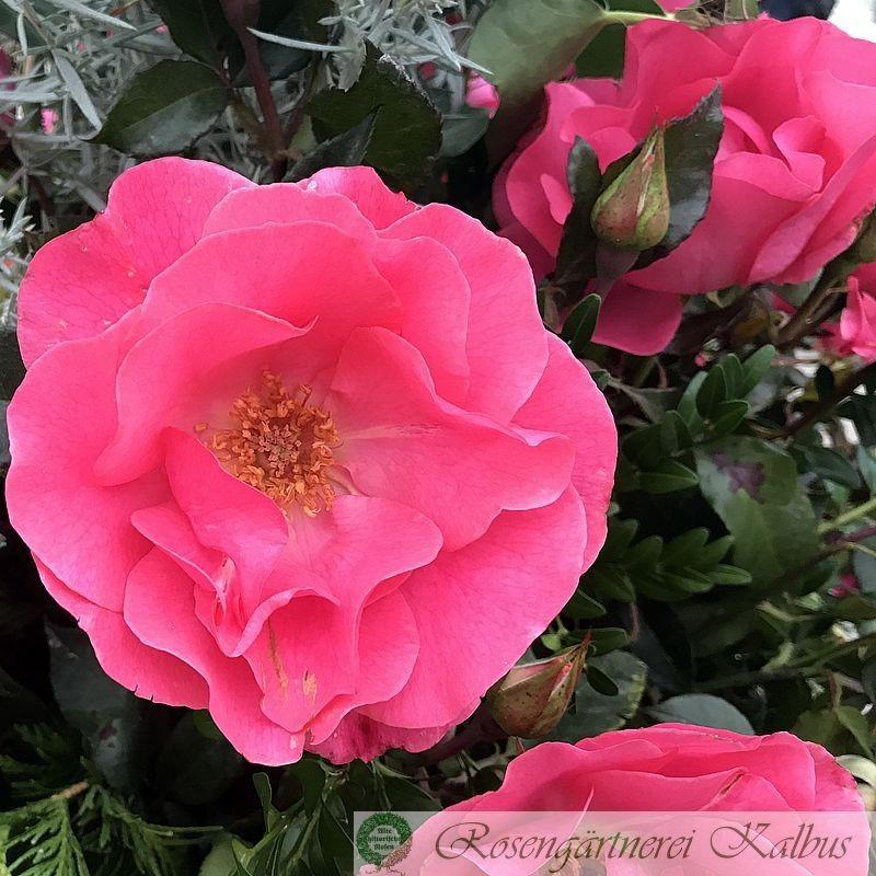 Moderne Rose Romanze®