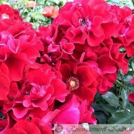 Moderne Rose Roter Korsar®