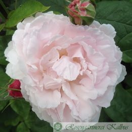 Besondere Rose Redoute®