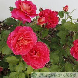 Besondere Rose Reine Sammut®