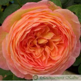 Besondere Rose Rosomane Janon®