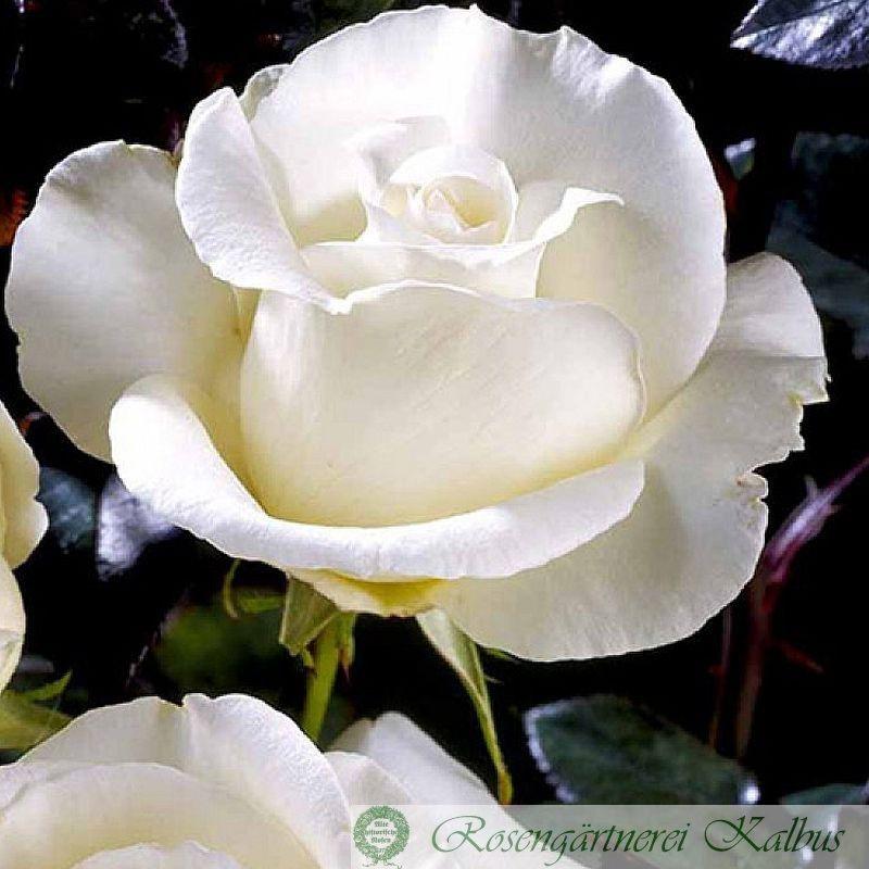 Edelrose Roy Black®