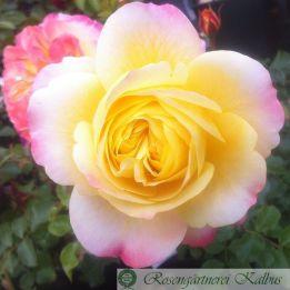 Moderne Rose Rose der Hoffnung®