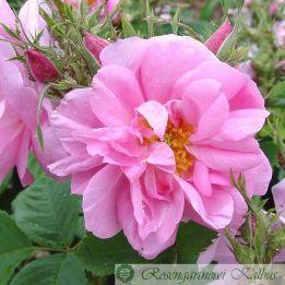 Historische Rose Rose Quatre Saisons