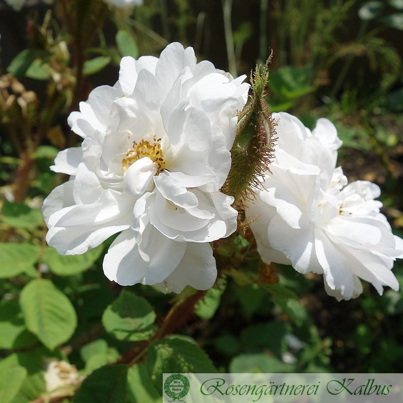 Rose des Quatre Saisons blanc mousseux