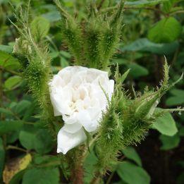 Historische Rose Rose Quatre Saisons Blanc Mousseux