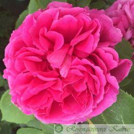 Rose aus Riad