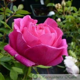 Historische Rose Rose aus Riad