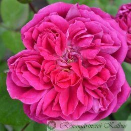 Historische Rose Rotkäppchen