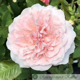 Kletterrose Rose de Tolbiac®